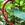 Tropicals: Acalypha hispida