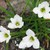 Lilies_zephyranthes_var._candida_white-4.small