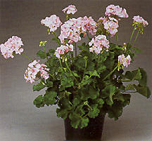 Geranium, Zonal 'Patriot Light Pink'