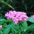 Annuals_pentas_sp.-7.small