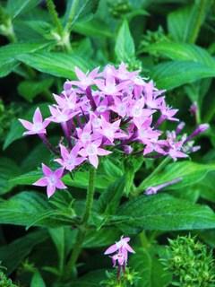 Pentas, Butterfly Beauties