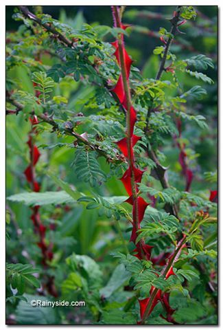 Wild_roses_rosa_sericea_ssp._omeiensis_f._pteracantha-2.full