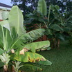 Banana_musa_sp.-3.thumb