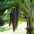 Banana_musa_sp.-3.small