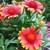 Annuals: Gaillardia pulchella