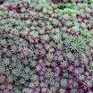Sedum_blue_carpet_stonecrop_74.thumb