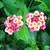 Perennials: Lantana 'Confetti'