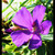 Screeners: Tibouchina urvilleana