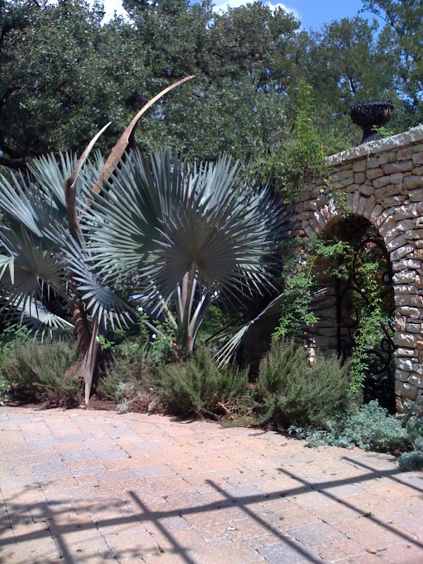 Palms_and_cycads_bismarckia_nobilis-1.full