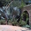 silver Bismarck palm