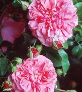 Rose, Shrub/Climber 'Rosarium Uetersen'