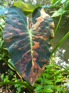 Colocasia Esculenta 'Coal Miner' - a close second fav!
