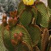 Opuntia-microdasys-2.thumb