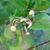 Ponderosa_lemon_baby_fruits.small