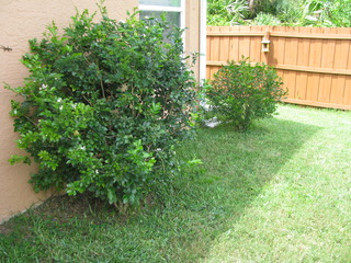 """Before""...two lonely Jasmine bushes"
