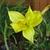 Daylilly_-_yangze_yellow.small