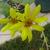 Yellow_sun_flower.small