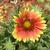 Gilardia_blanket_flower_june_09.small