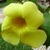Yellow_alamanda.small