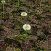 Trifoliumatropurureum1.thumb