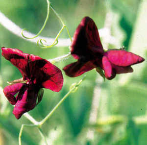 Sweet Pea, 'Black Knight'