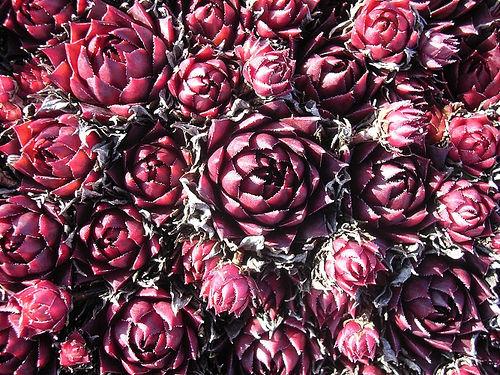 Cacti_and_succulents_sempervivum_tectorum_rubin.full