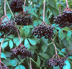 Elderberry, Johns