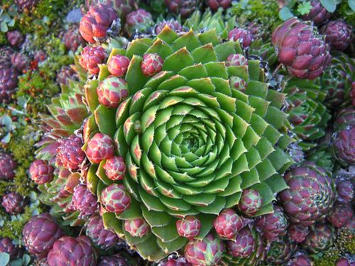 Cacti_and_succulents_jovibarba_sobolifera.full