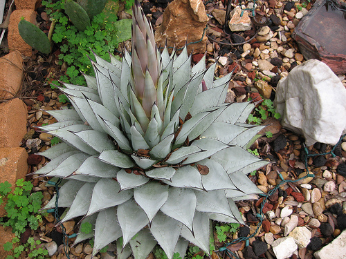 Cacti_and_succulents_agave_parryi_ssp._truncata.full