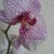 Orchid.small