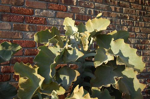 Cacti_and_succulents_kalanchoe_beharensis.full