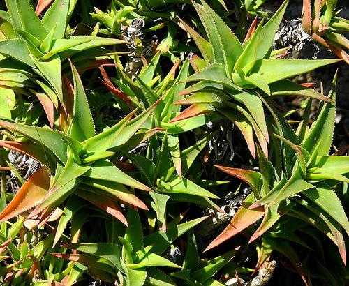 Cacti_and_succulents_aloe_ciliaris.full