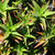 Cacti_and_succulents_aloe_ciliaris.small