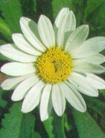 Shasta Daisy, 'Snowcap'