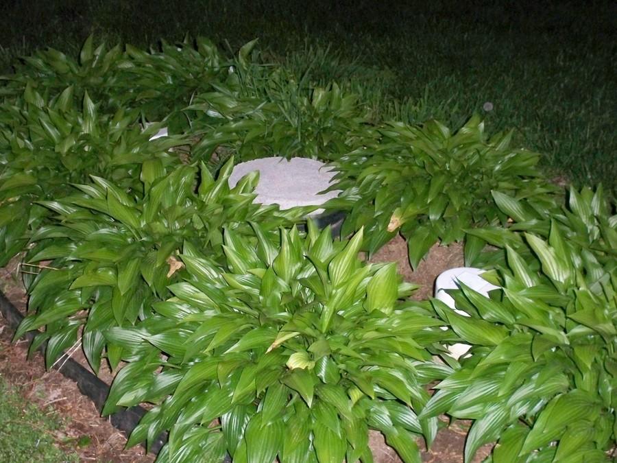 hostas hide an ugly septic system - Garden Ideas To Hide Septic Tank