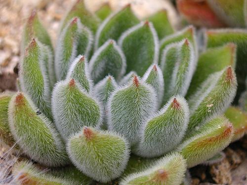 Cacti_and_succulents_echeveria_doris_taylor.full