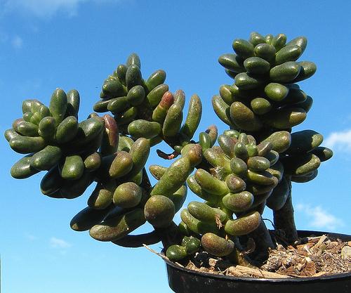 Cacti_and_succulents_cremnosedum_c._nutans_x_s._furfuraceum.full