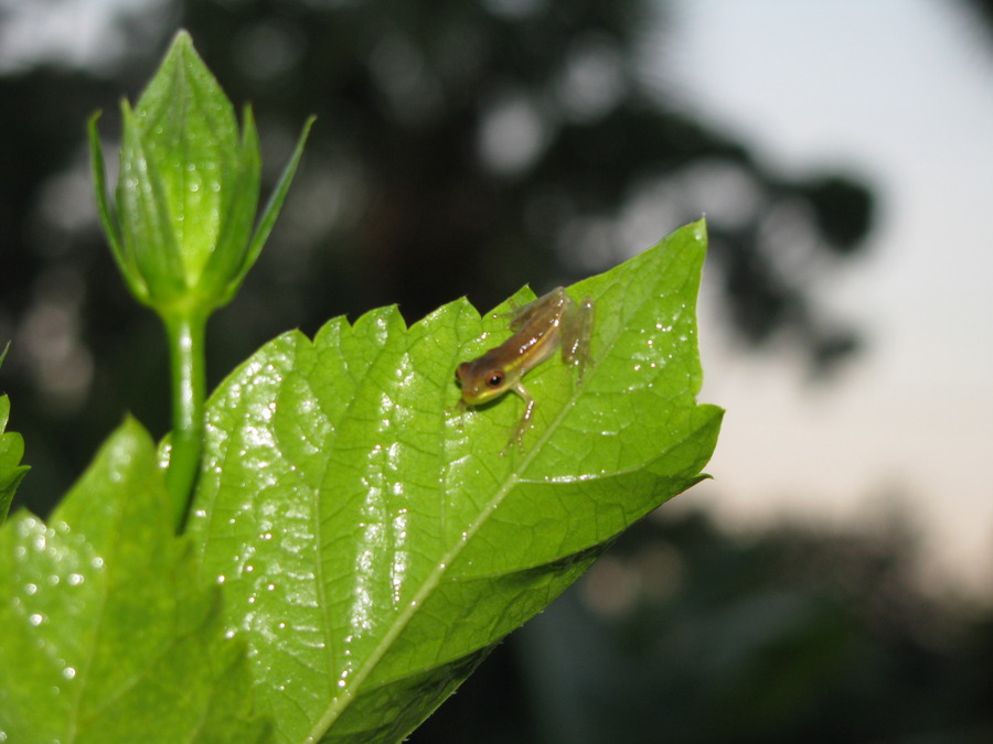 Baby_frog_on_hibiscus_leaf_10409.full
