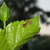 Baby_frog_on_hibiscus_leaf_10409.small