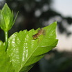 Baby_frog_on_hibiscus_leaf_10409.thumb