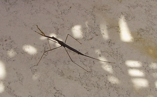 Stick_bug.full