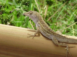 Brown_anole.full