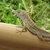 Brown_anole.small