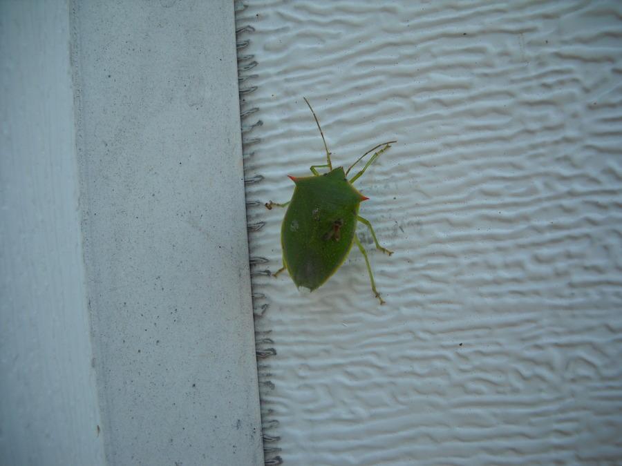 Leaf_bug.full