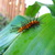 Oleander_catapiller.small