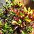 Tropicals_codiaeum_variegatum-1.small