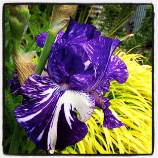 'Batik' Bearded Iris