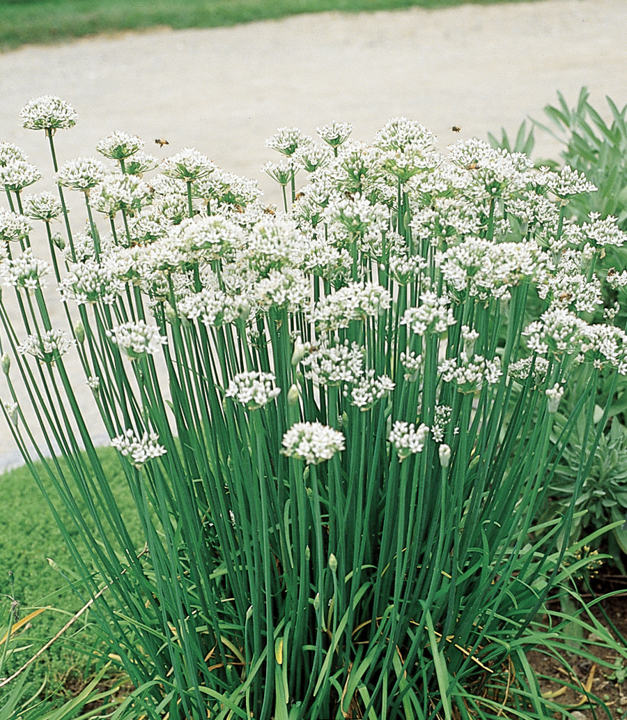Chives_allium_tuberosum-1.full