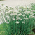 Chives_allium_tuberosum-1.small