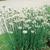 Chives: Allium tuberosum
